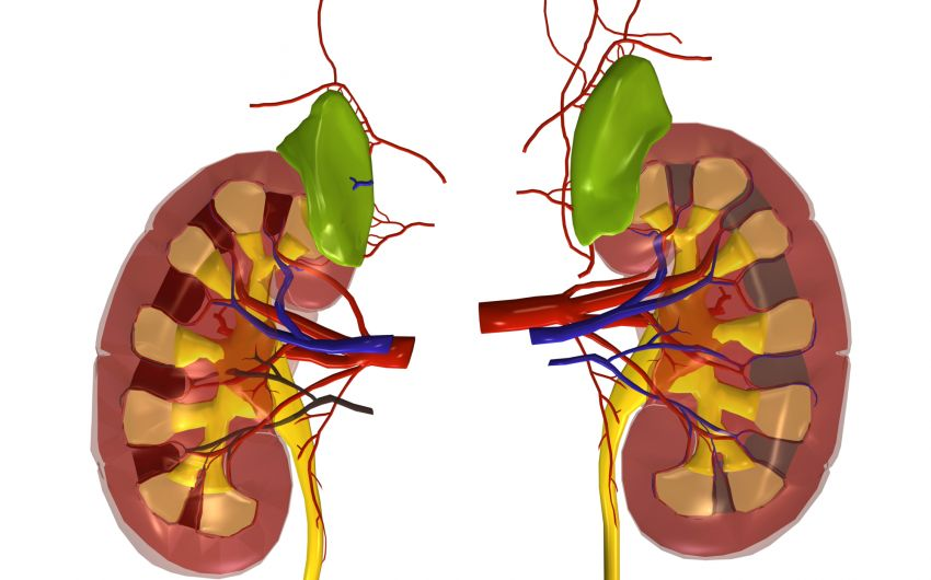 Grafische Darstellung: die Nieren.