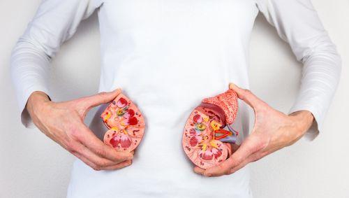 Zwei Hände zeigen mit Modellen die Position der Nieren an