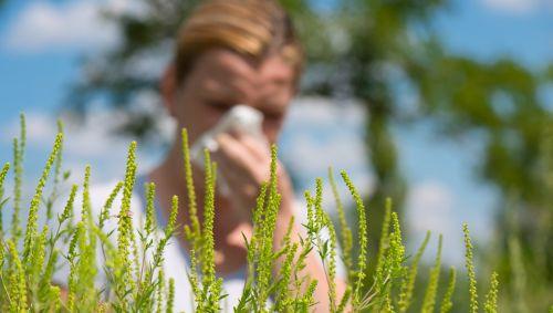 Hinter einer blühenden Ambrosia-Pflanze niest eine Frau in ein Taschentuch.