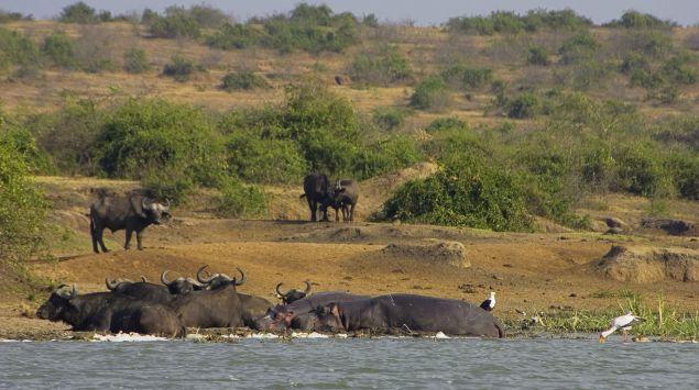 Das Bild zeigt den Nil mit einer Herde Büffel.