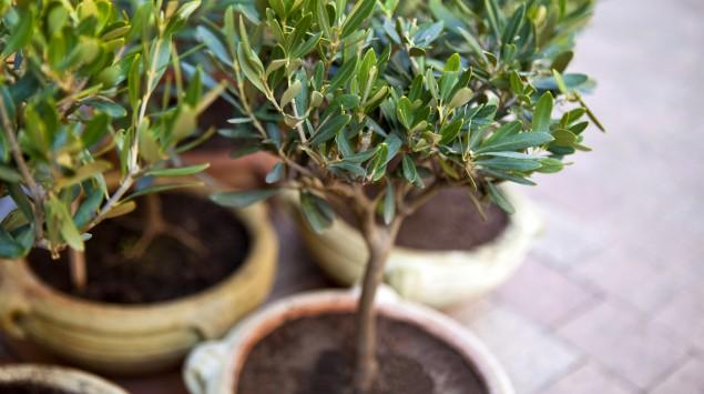 Zu sehen sind mehrere kleine Olivenbäume in Tonkübeln.