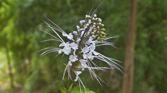Eine Orthosiphon-Pflanze