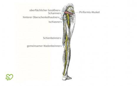 Pirifomis-Syndrom: Man sieht eine anatomische Illustration des rechten Beins von hinten.