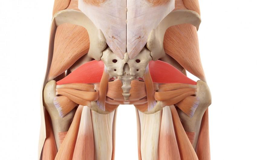 Piriformis-Syndrom: Man sieht eine anatomische Darstellung der Gesäßmuskulatur und umgebender Muskeln. Die Piriformis-Muskeln sind rot markiert.