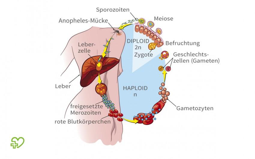 Malaria: Man sieht den Lebenszyklus von Plasmodium falciparum.