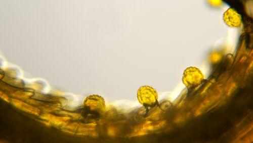Man sieht Pollenkörner auf einer Blütennarbe.