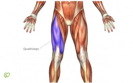 Muskeln: Bizeps, Trizeps & Co. Quadrizeps (Musculus quadriceps ...