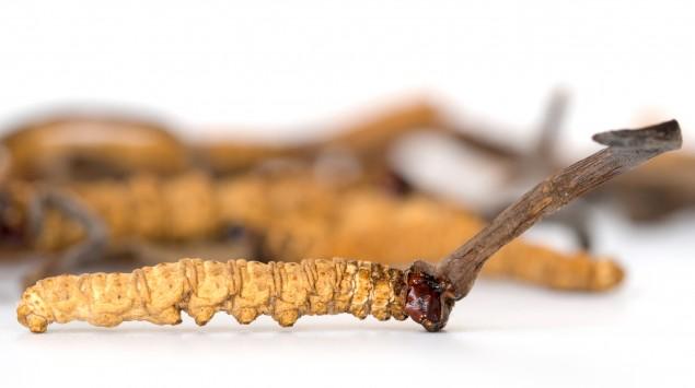 Der Chinesische Raupenpilz (Cordyceps sinensis) zählt zu den Vitalpilzen.