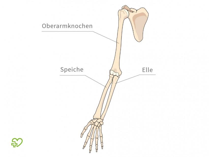 Gemütlich Unterarmknochen Anatomie Galerie - Menschliche Anatomie ...
