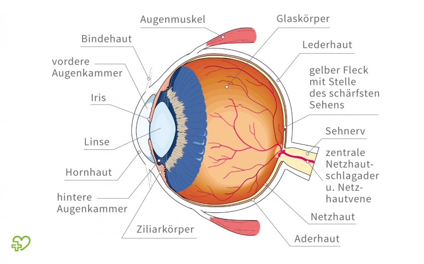 Glaukom: Das Bild zeigt einen schematischen Querschnitt durch das Auge.