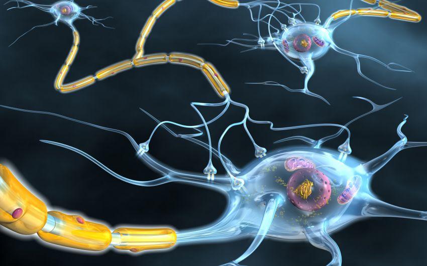 Man sieht mehrere Nervenzellen, die miteinander verbunden sind.