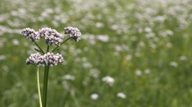 Das Bild zeigt eine Baldrianpflanze.