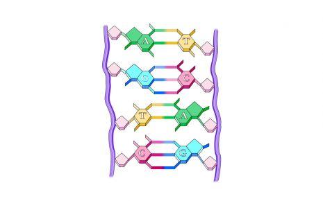 Man sieht die Basenpaare eines DNA-Doppelstrangs.