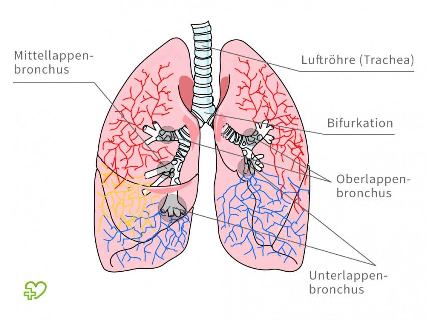 Fantastisch Anatomie Der Bronchien Fotos - Menschliche Anatomie ...