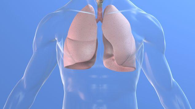 Das Bild zeigt eine Lungen.