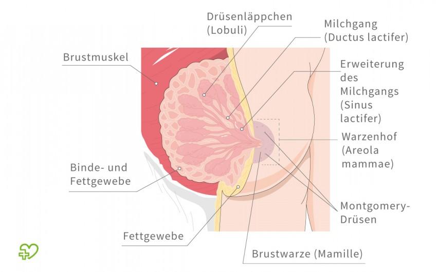 Schematische Darstellung der weiblichen Brust.
