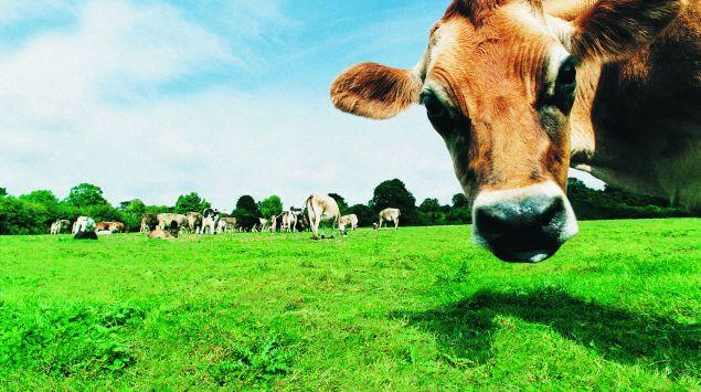 Das Bild zeigt Kühe auf der Weide.