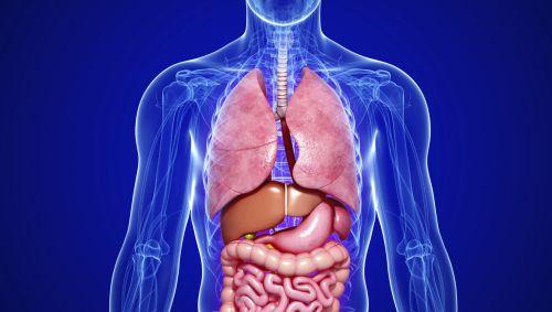 Man sieht ein transparentes 3D-Modell des menschlichen Körpers inkl. der Organe.