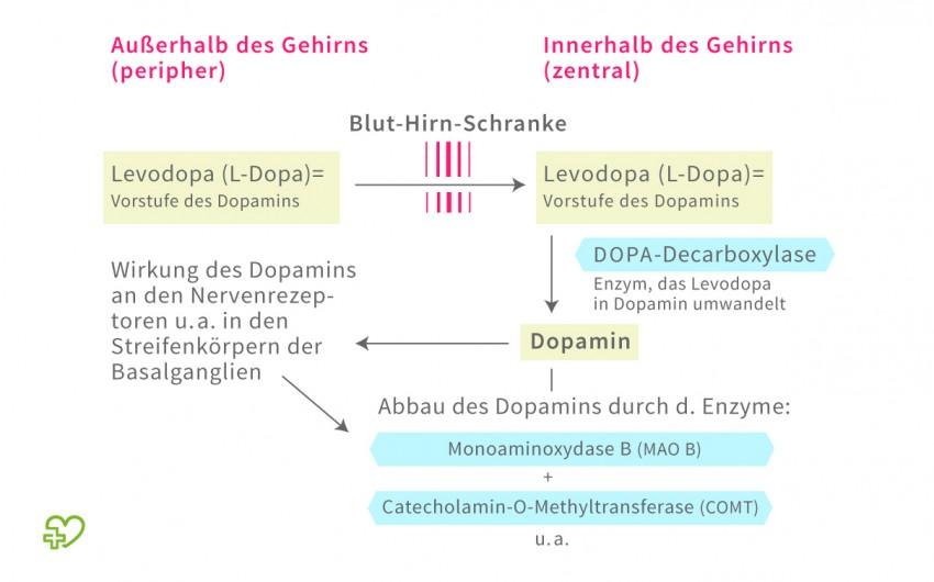 Schematische Darstellung des Dopaminstoffwechsels