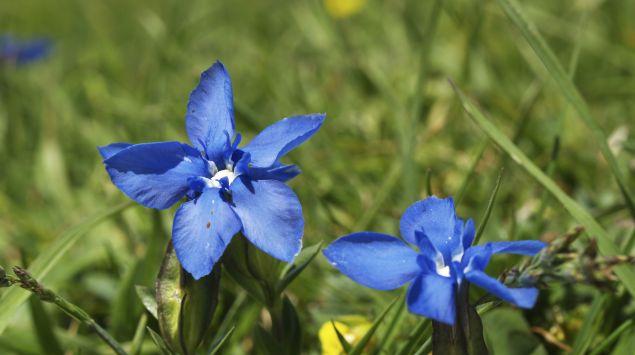 Das Bild zeigt zwei blaue Blumen.