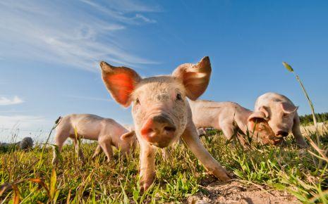 Schweinegrippe: Man sieht mehrere Ferkel auf einer Wiese.