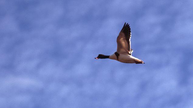 Fliegende Ente vor blauem Himmel