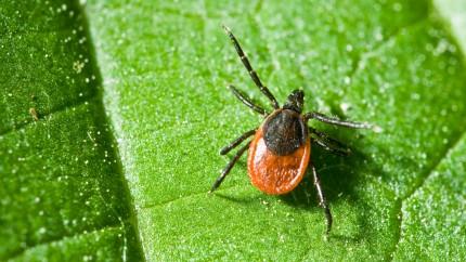 Zecken: Blutsaugende Parasiten