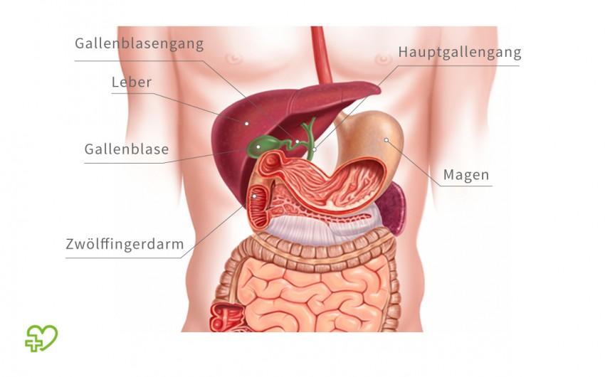 Die Gallenblase ist ein Speicher für die in der Leber gebildete Galle. Sie fasst durchschnittlich 50-60 Milliliter Gallenflüssigkeit. Durch Wasserentzug wird die Galle in der Gallenblase eingedickt.
