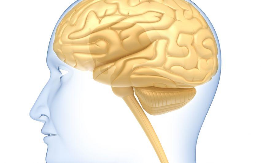 Das Bild zeigt eine schematische Darstellung eines Gehirns.