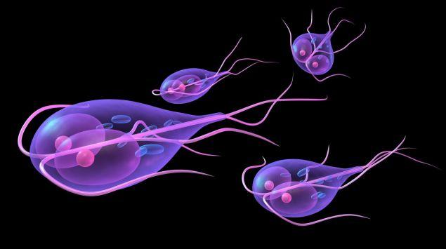 Das Bild zeigt Giardia lamblia.