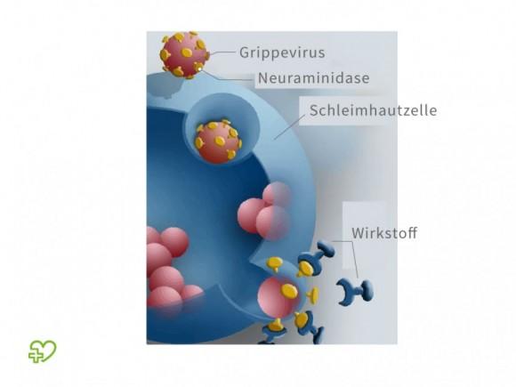 Funktionsweise der Neuraminidasehemmer