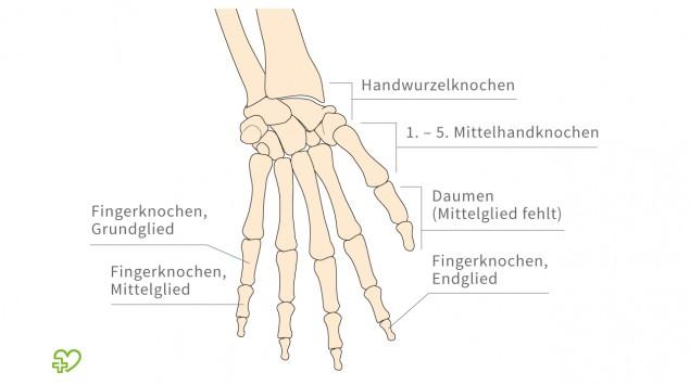 Eine grafische Abbildung des Hand-Skeletts.