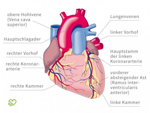 Koronare Herzkrankheit (KHK), Angina pectoris: Aufbau eines Herzes