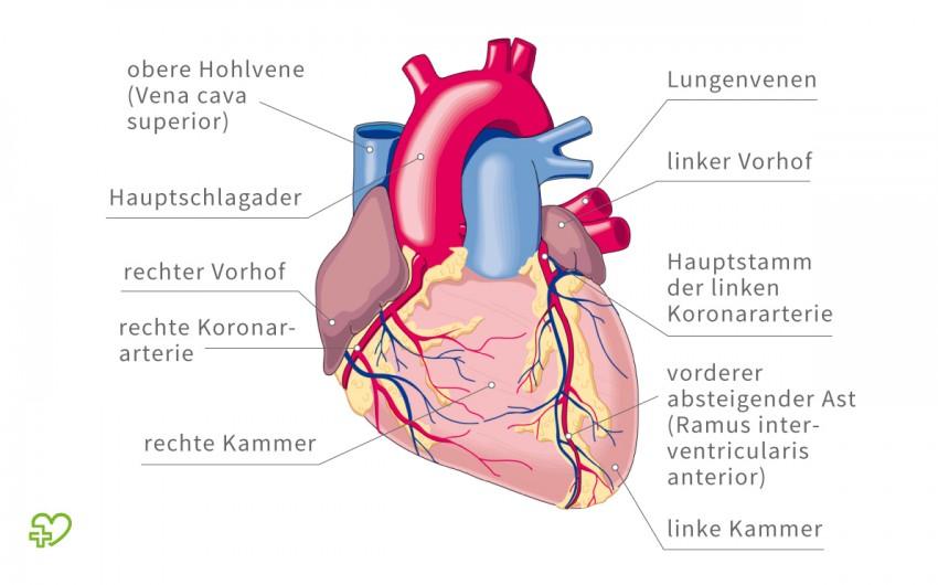 Aufbau eines Herzes