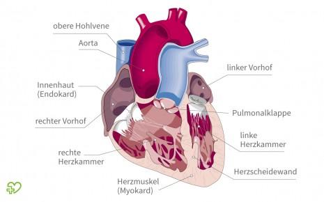 Das Perikard ist die äußere Umhüllung des Herzens. Sie besteht aus zwei dünnen Häuten aus Bindegewebe: dem Epikard und dem parietalen Perikard.