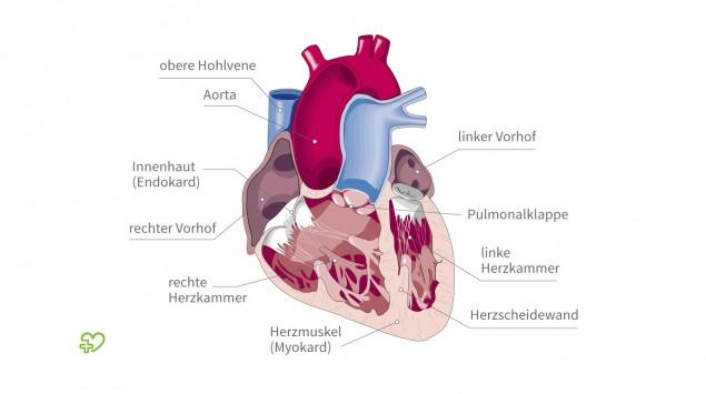 Die Anatomie des Herzens