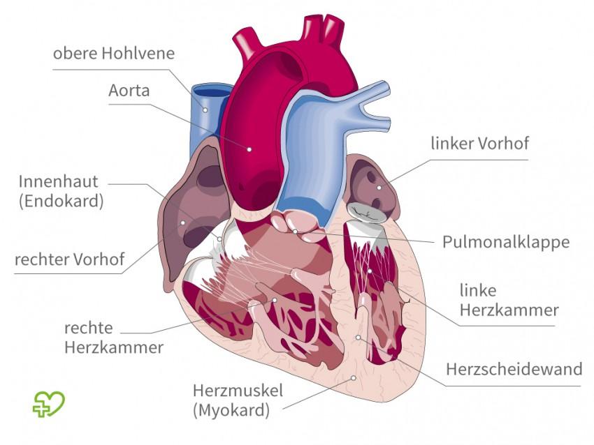 Atemberaubend Anatomie Und Physiologie Des Herzens Powerpoint Bilder ...
