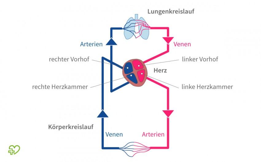 Das Herz: Blutkreislauf - Lungenkreislauf und Körperkreislauf ...