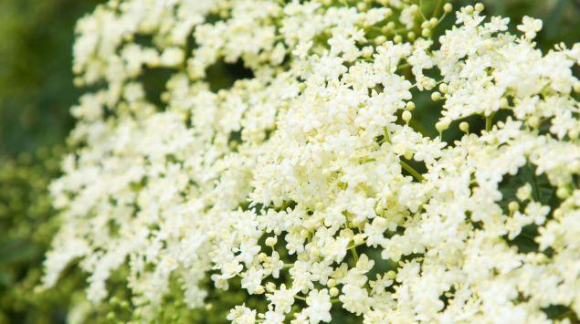 Blühender Holunder