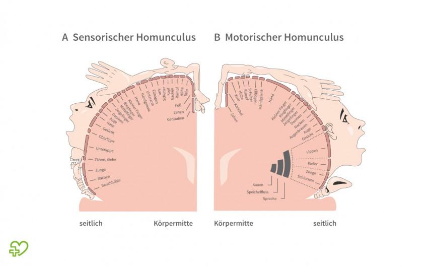 Schema des sensorischen und des motorischen Homunculus.