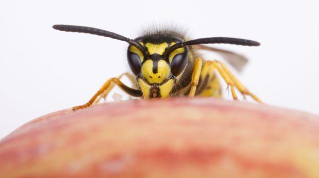 Das Bild zeigt eine Wespe.