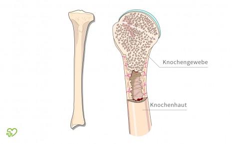 Abbildung eines Röhrenknochen, inklusive Ausschnittvergrößerung mit Knochenaufbau