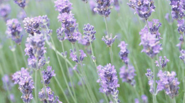 Das Bild zeigt Lavendel.