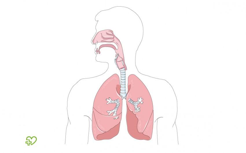 Man sieht die schematische Darstellung der Lungen und der oberen Atemwege.
