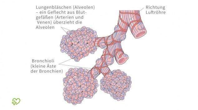 Illustration: Anatomie der Lungenbläschen