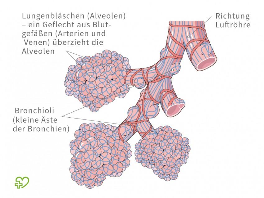 Gemütlich Anatomie Der Alveolen Zeitgenössisch - Anatomie Ideen ...