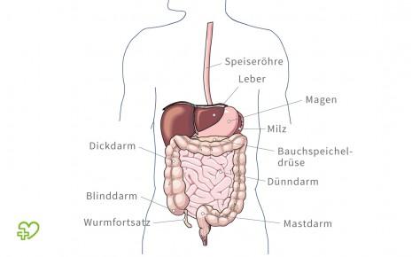 Aufbau der Verdauungsorgane