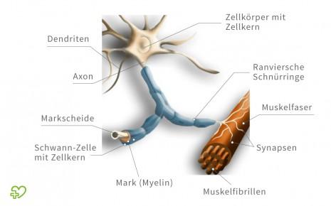 Schematische Darstellung eines Motoneurons