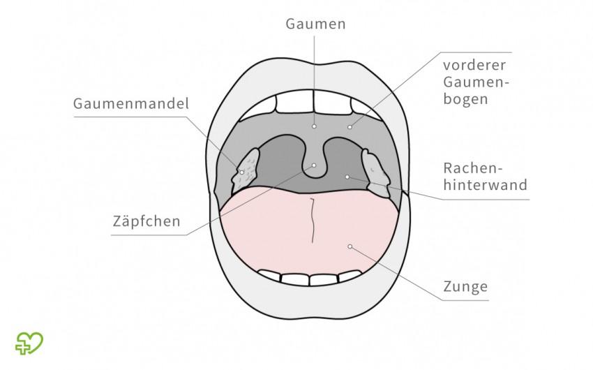 Illustration: Anatomie der Mundhöhle.