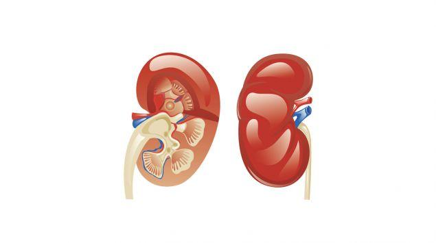 Man sieht eine schematische Darstellung der Nieren.